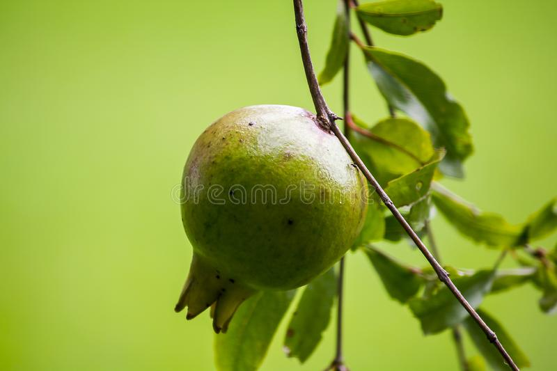 Punica granatum hanging on the branch. Punica granatum, which is hanging from the branches, is round, barky, smooth, ripened, yellowish with sugar and thinly red royalty free stock images