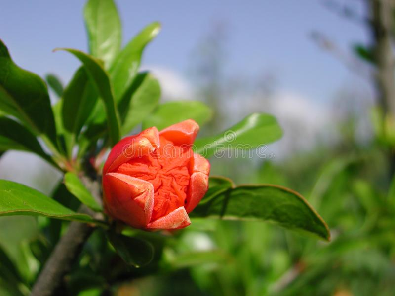 Red flower of Punica granatum tree. Branch of Punica granatum tree with bud stock photography