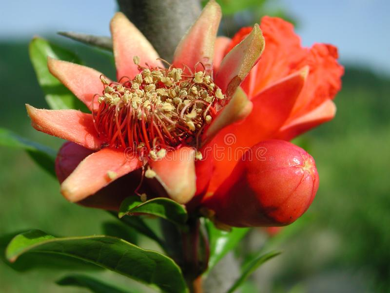 Red flower of Punica granatum tree. Branch of Punica granatum tree with bud royalty free stock image