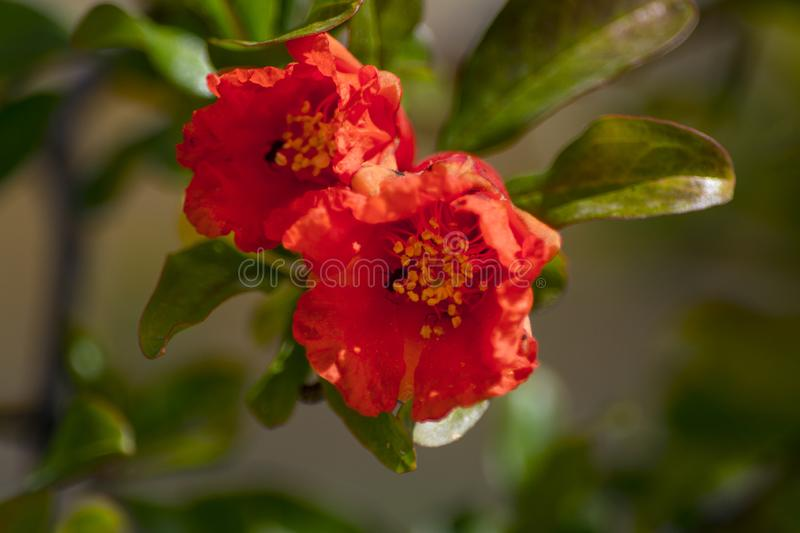 Punica granatum red flowers with ants stock photo