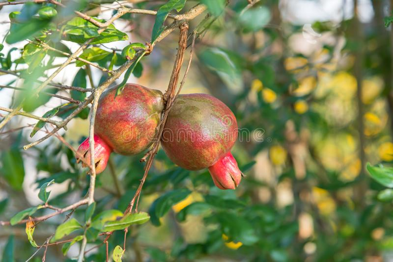 Punica Pomegranate or Punica granatum in garden. Punica is a small genus of fruit-bearing deciduous shrubs or small trees. The better known species is the royalty free stock photos