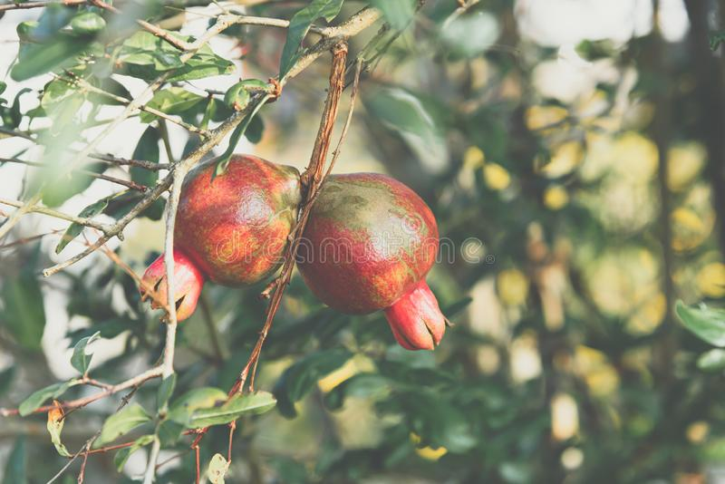 Punica Pomegranate or Punica granatum in garden. Punica is a small genus of fruit-bearing deciduous shrubs or small trees. The better known species is the royalty free stock images