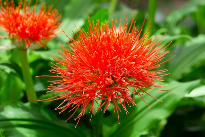 Download Puniceus De Florescência De Scadoxus Imagem de Stock - Imagem de endemic, alternativa: 29826131