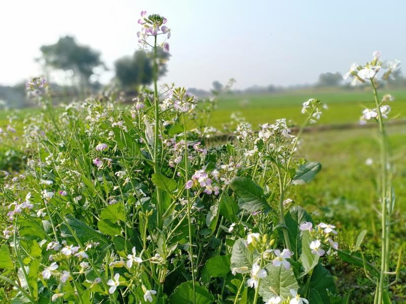 Punjab verde foto de archivo