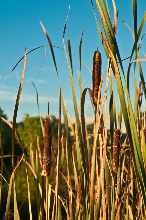 Punks, mûris dans un marais avec l'herbe sur une île de barrière photographie stock