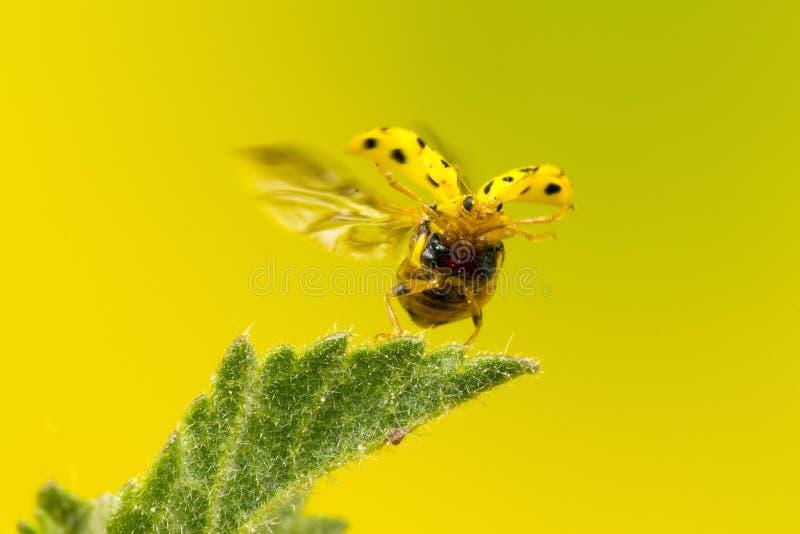 22 punktów ladybird obraz stock