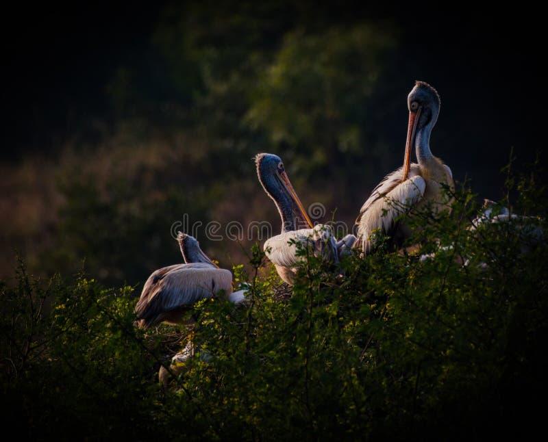 Punkt Wystawiająca rachunek pelikan kolonia zdjęcia royalty free