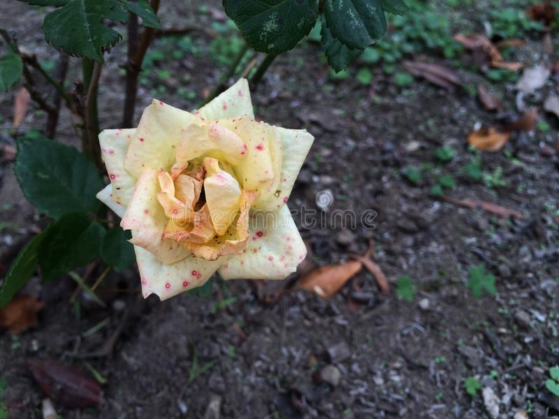 Punktierte Rose stockfotografie