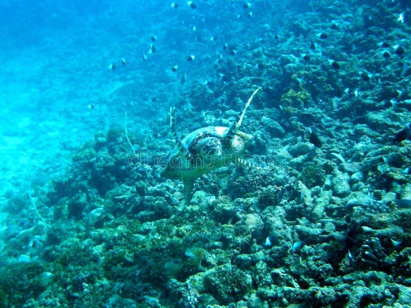 punktsköldpadda arkivfoto