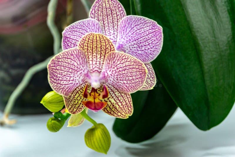 , punktu kwiatu storczykowego Phalaenopsis «Demi Deroose ćma orchidea, na świetle - szarość obrazy royalty free