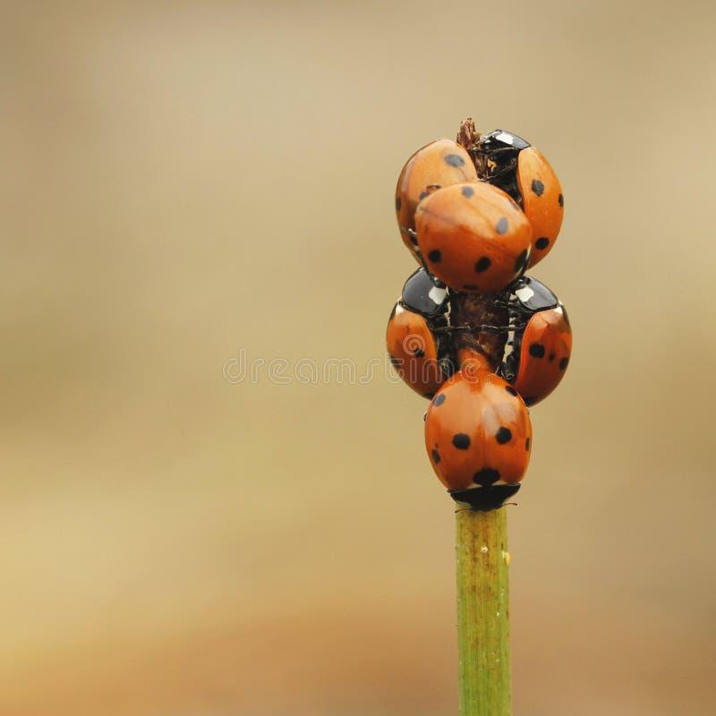 Punktu ladybird Coccinella septempunctata obraz stock