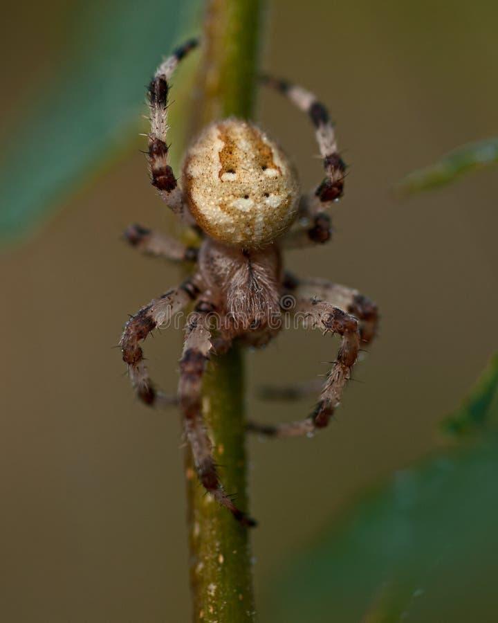 Punktu tkacz, Araneus quadratus fotografia royalty free