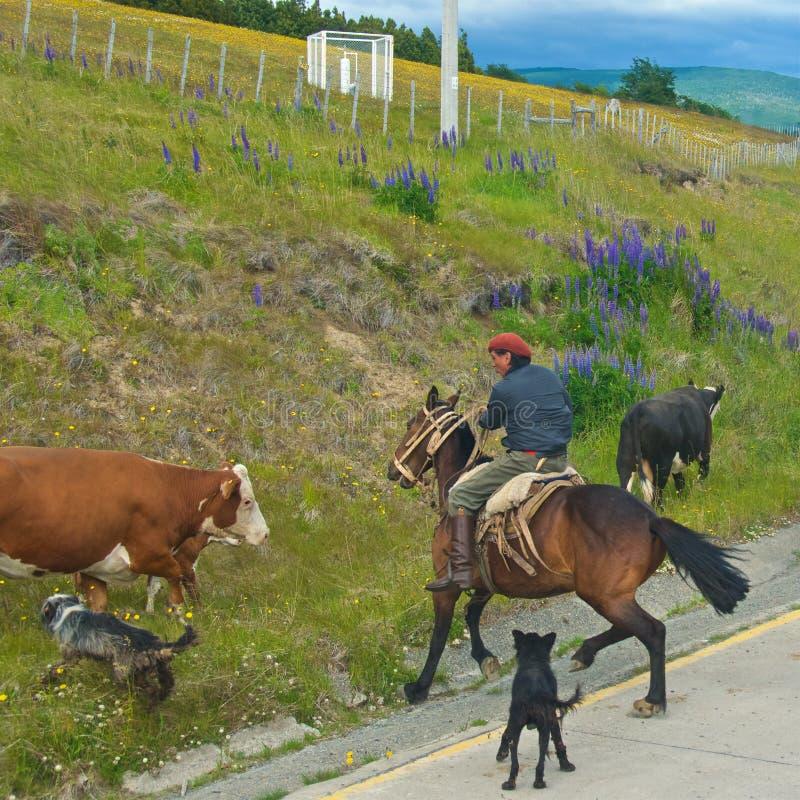 Punta Arenas Chile, Grudzień, - 2018: Chilijski kowboj zaokrągla krowy w Punta Arenas, Chile fotografia royalty free