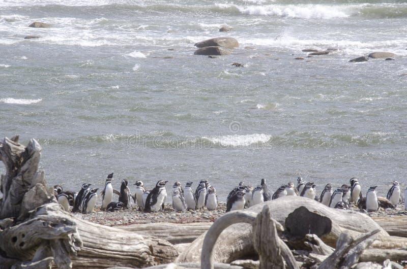 Punta Arenas - colonie de pingouin photos stock