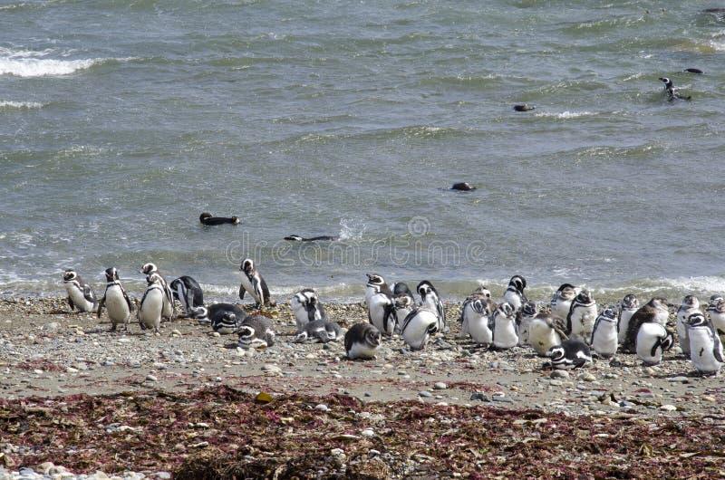 Punta Arenas - colonie de pingouin photo stock