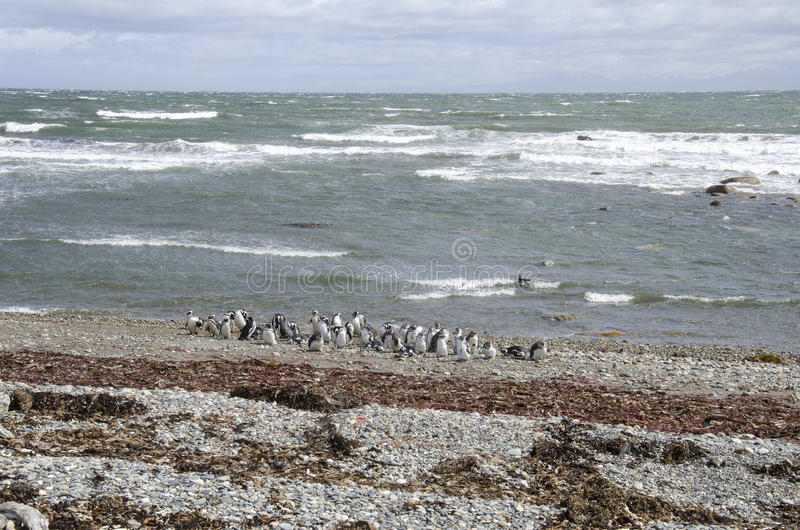 Punta Arenas - colonie de pingouin image libre de droits