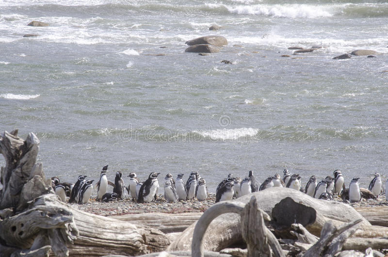 Download Punta Arenas - Penguin Colony Stock Image - Image: 80225373