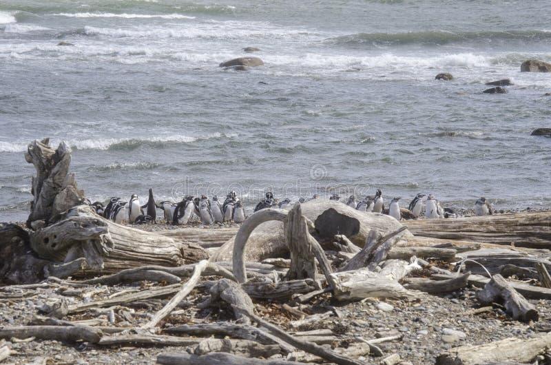 Download Punta Arenas - Penguin Colony Stock Image - Image of bird, fauna: 80227113