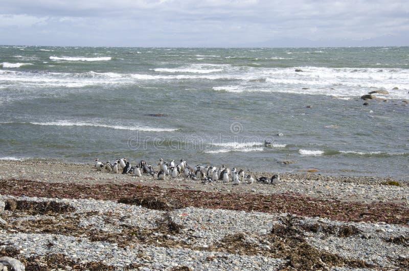 Download Punta Arenas - Penguin Colony Stock Photo - Image: 80227186