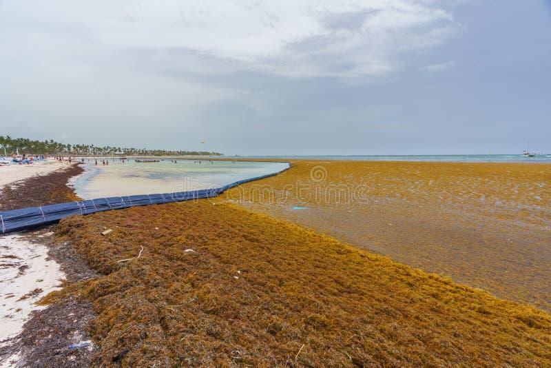 Punta Cana, Dominican Republic - June 24, 2018: Sargassum Seaweeds