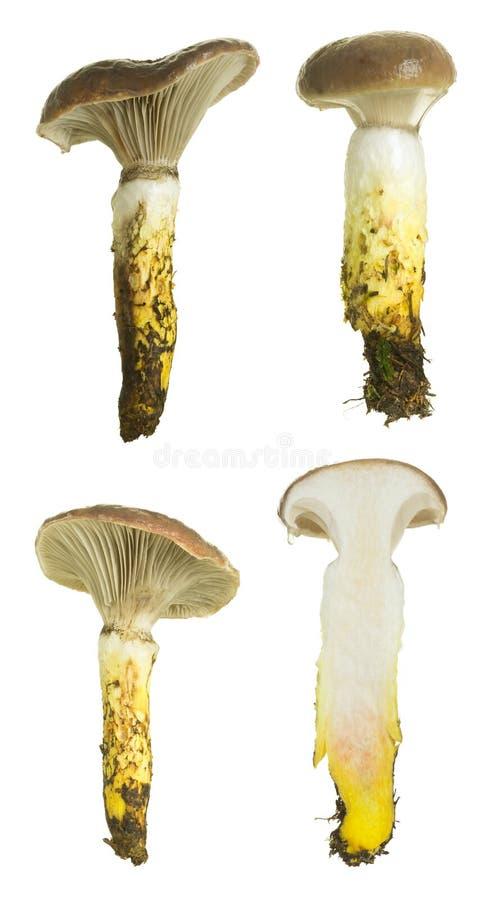 Punta-cappuccio viscoso, glutinosus di Gomphidius isolato su fondo bianco fotografie stock libere da diritti