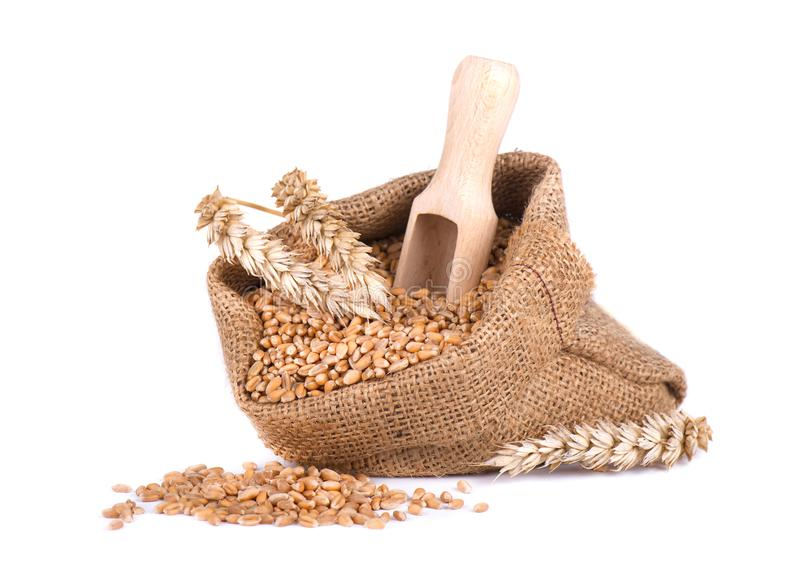 Punta del grano e grano del grano nella borsa di tela da imballaggio isolata su fondo bianco immagine stock libera da diritti