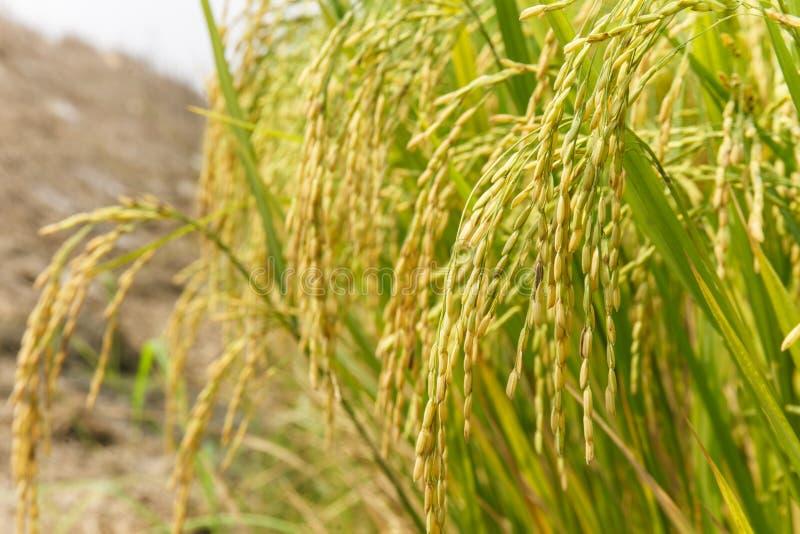 Punta del riso nel giacimento del riso fotografia stock libera da diritti