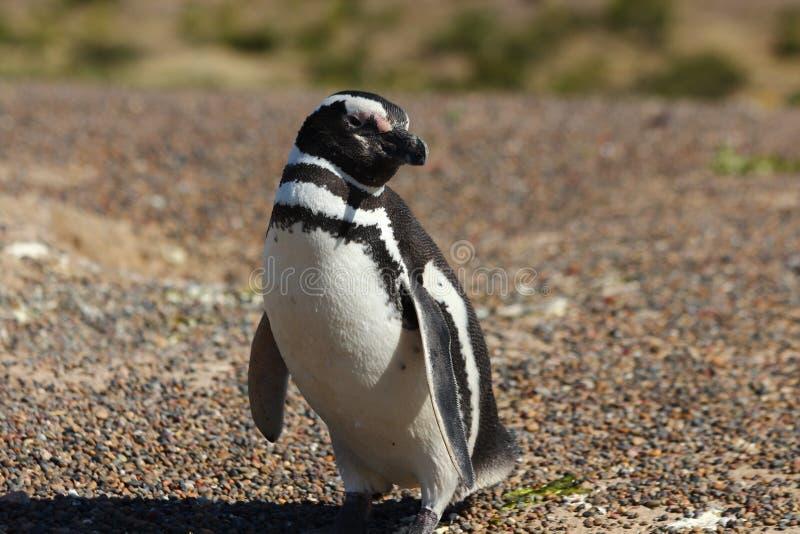 Punta Tombo, Patagonia, Argentyna pingwin magellanic obraz stock