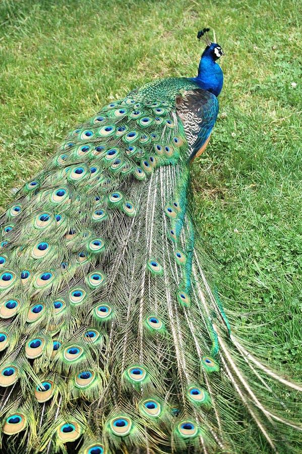 Puntal del pavo real fotos de archivo