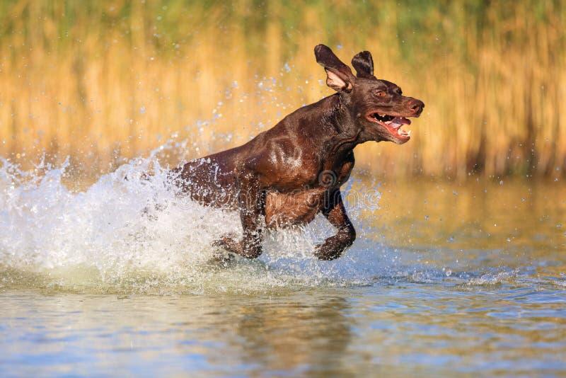 Puntatore dai capelli corti tedesco del cane da caccia muscolare allegro felice del purosangue È saltare, corrente sull'acqua immagine stock libera da diritti