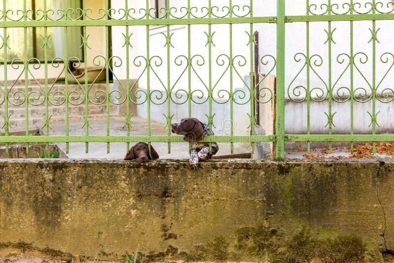 Puntatore dai capelli corti tedesco due dietro il recinto del metallo Un cane sembra triste Un'altra testa attaccata attraverso l immagini stock