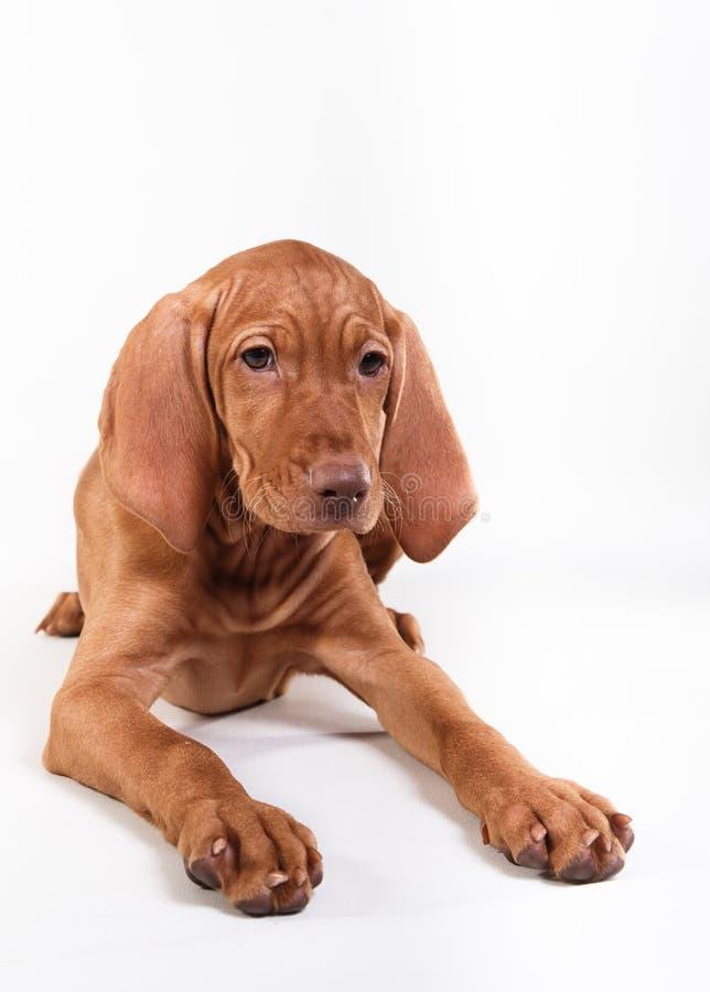 Puntatore di Vizsla dell'ungherese del cane fotografia stock libera da diritti