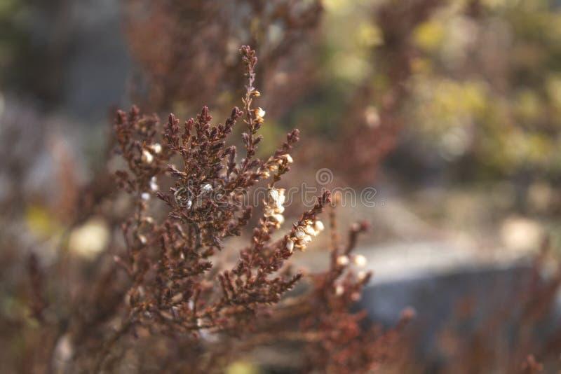 Punte dell'erba marrone della steppa nel sole uguagliante fotografie stock