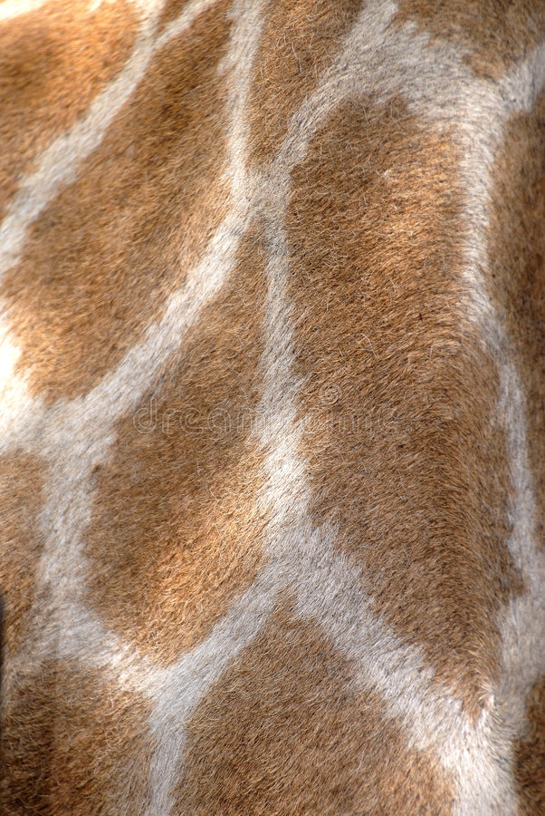 Punti della giraffa, Sudafrica fotografie stock libere da diritti