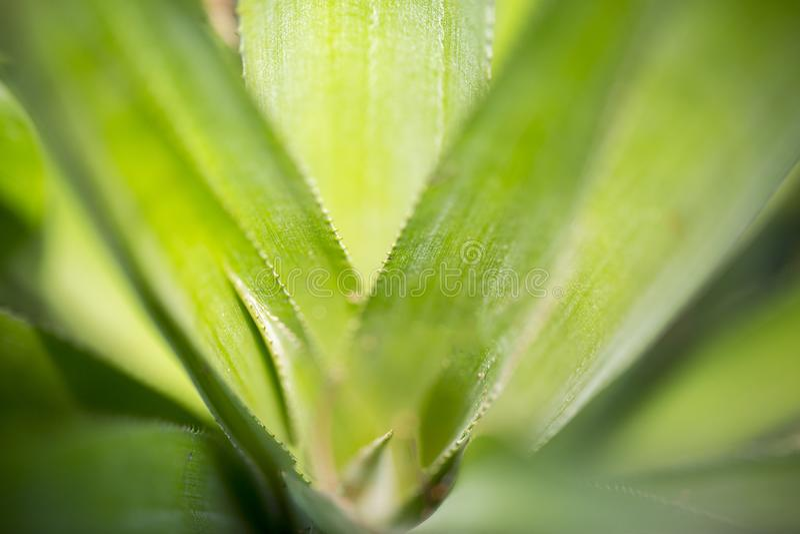 Punti di vista principali delle foglie di ananas a Madhupur, Tangail, Bangladesh fotografia stock libera da diritti