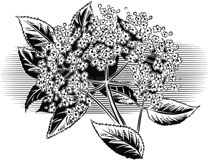 Puntilla de flores más viejas libre illustration