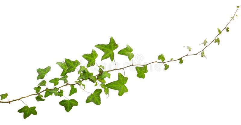 Puntilla de la hiedra con las hojas verdes aisladas imágenes de archivo libres de regalías