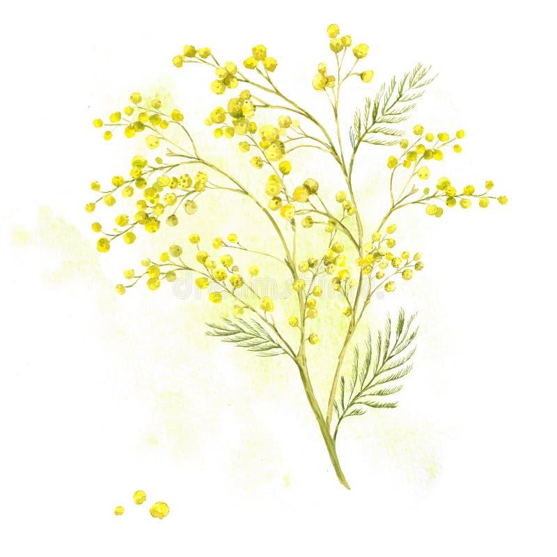 Puntilla de la mimosa, fondo de la acuarela de la primavera stock de ilustración