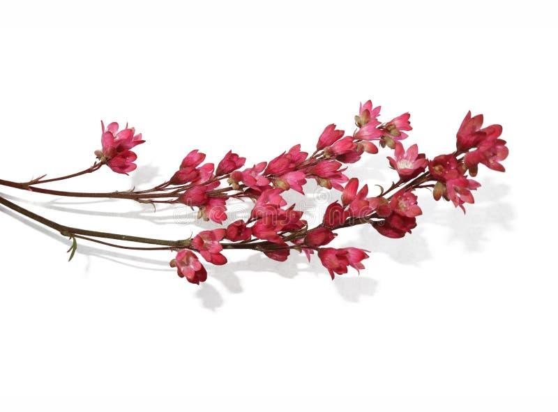 Puntilla de pequeñas flores rosadas en un fondo blanco imagen de archivo