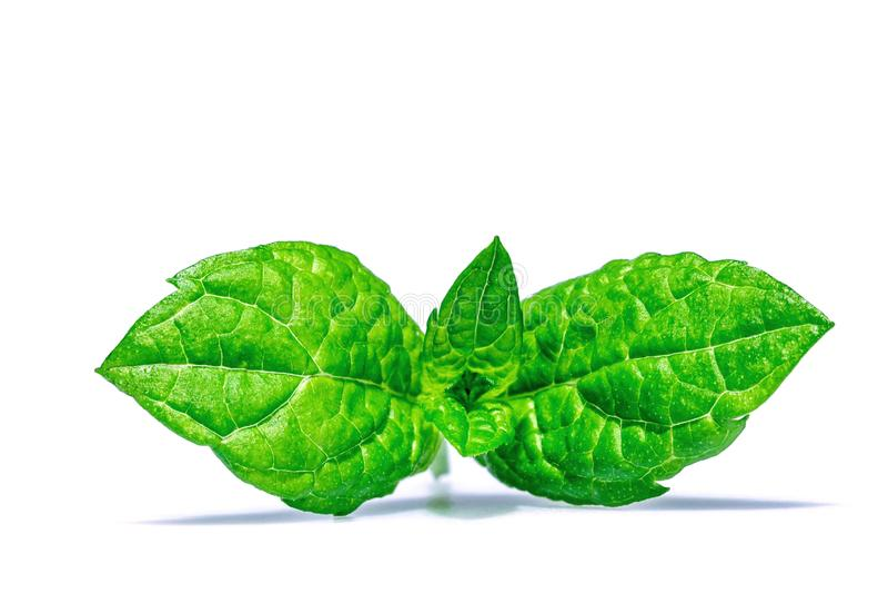 Puntilla del primer macro de las hojas de menta aislado imagenes de archivo