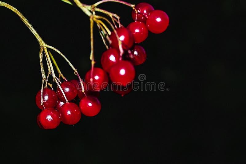 Puntilla del viburnum maduro rojo foto de archivo