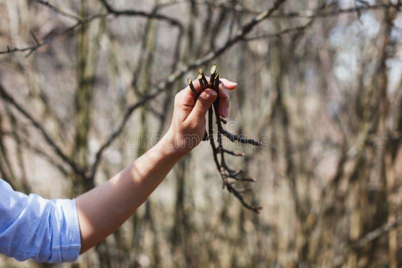 Puntillas de los manzanos en las manos de una muchacha fotos de archivo