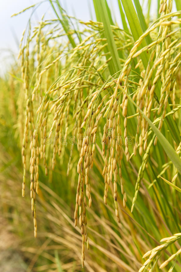 Punto del arroz en campo del arroz imágenes de archivo libres de regalías