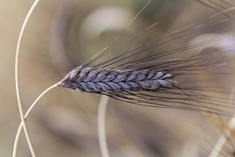 Punto del dicoccon negro var del tritio del trigo del emmer atratum imágenes de archivo libres de regalías