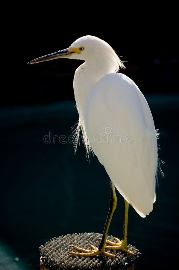 Punto del Egret fotografia stock libera da diritti