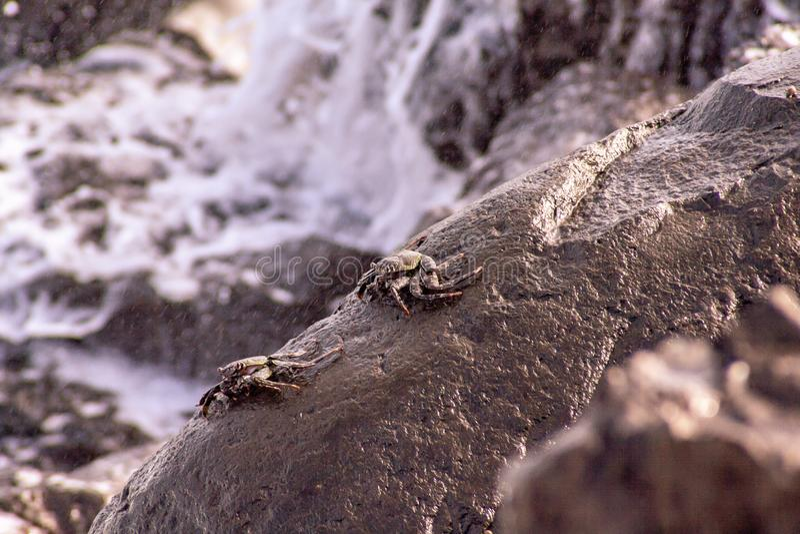 Punto di vista alto vicino dei granchi del mare sulla roccia fotografia stock
