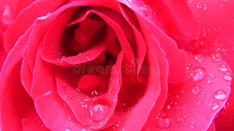 Punto di vista alto vicino dell'estratto della rosa rossa completamente aperta con le gocce di pioggia della rugiada immagini stock libere da diritti
