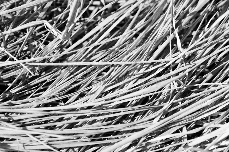 Punto di vista alto vicino di erba asciutta Sfondo naturale in bianco e nero immagine stock libera da diritti