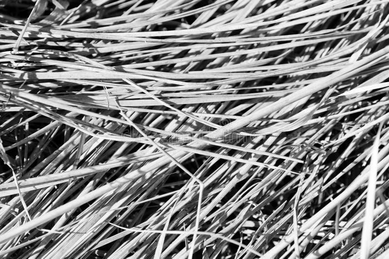 Punto di vista alto vicino di erba asciutta Sfondo naturale in bianco e nero fotografia stock libera da diritti