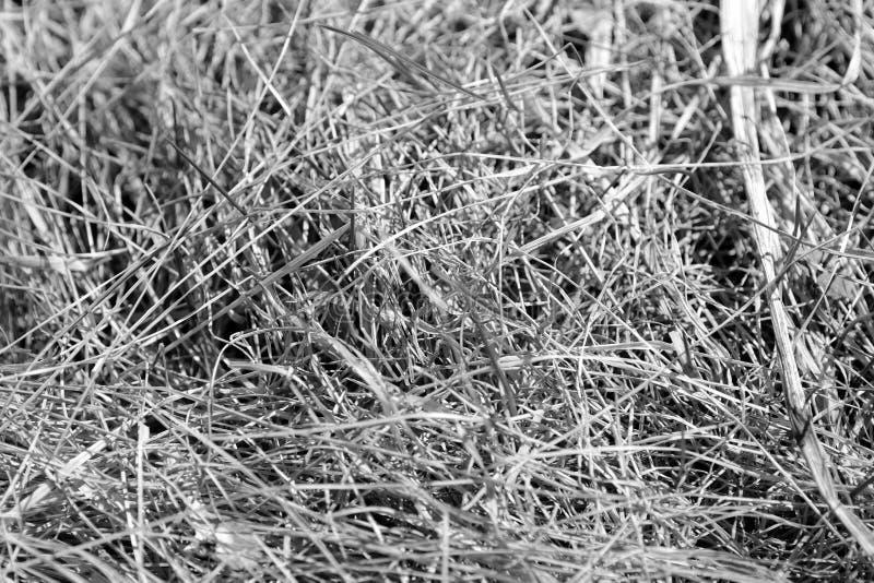 Punto di vista alto vicino di erba asciutta Sfondo naturale in bianco e nero immagini stock